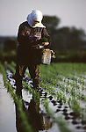 In early May, the rice fields of Aomori Prefecture, on Northern Honshu, Japan, are prepared for the planting season by a workforce made up of women and men, who plant and cultivate the rice seedlings by hand. Photo by Jim Bryant ©2008, All Rights Reserved.