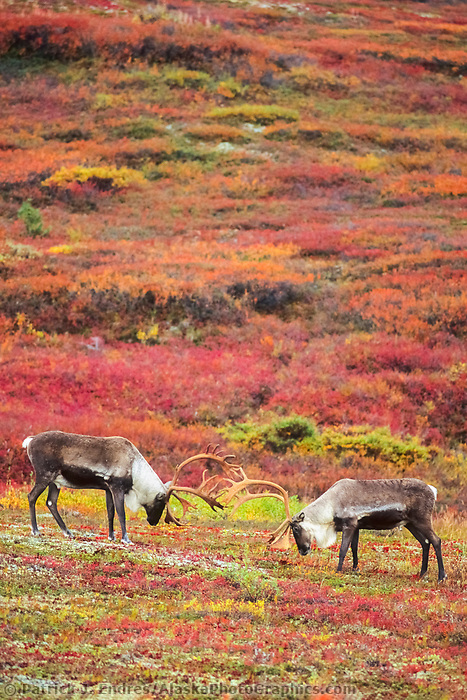 Two bull caribou sparring on tundra, Denali National Park, Alaska