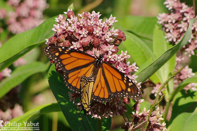 Monarchs (Danaus plexippus) mate while feeding on a milkweed flower cluster at Josephine Newman Sanctuary, Georgetown, Maine