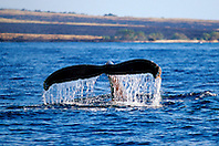 humpback whale fluke-up dive, Megaptera novaeangliae, Big Island, Hawaii, Pacific Ocean