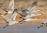 Sandhill Cranes (Grus canandensis) take off from their overnight roosting area at the Bosque del Apache National Wildlife Refuge, near Socorro, New Mexico.