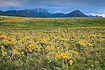 Balsamroot flowers and the Rocky Mountain Front in Montana