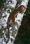 Kinkajou, Potos flavus, feeding on flowers on tree, Iquitos, Northern Peru, nocturnal, jungle, . .South America....