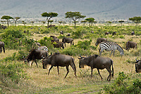 The wildebeest is a bovid antelope belonging to the family of even-toed horned ungulates that includes cattle and goats. With its shaggy mane, long thin face, pointed beard, and spindly legs, the wildebeest is immediately recognizable on the Serengeti plains.