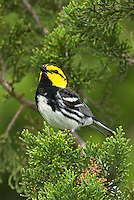 591850012 a wild federally endangered male golden-cheeked warbler setophaga chrysoparia - was dendroica chrysoparia - perches in a fir tree on balcones canyonlands national wildlife refuge travis county texas