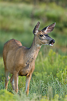 625250015 a wild mule deer odocoileus hemionus grazes and wanders about a meadow in bryce canyon national park utah united states