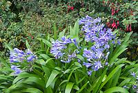 Agapanthus, blue flowers in garden showing plant habit