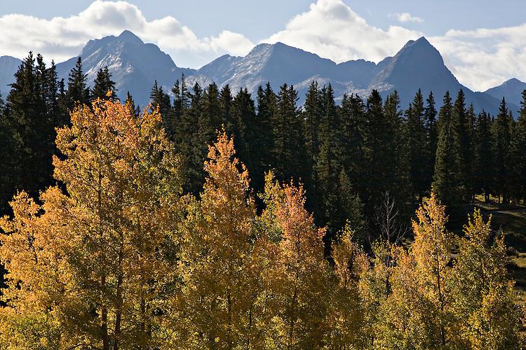 Aspen trees, Populus tremuloides, near the Needle Mountains outside of Silverton, Colorado