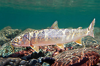 Bull Trout, Underwater