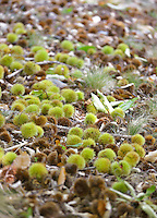 The leafy floor of the wood is littered with fallen chestnuts