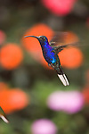 Selvatura Hummingbird Preserve, Monteverde, Costa Rica; a Violet Sabrewing (Campylopterus hemileucurus) hummingbird, Ala de sable violaceo, hovers in front of colorful flowers , Copyright © Matthew Meier, matthewmeierphoto.com All Rights Reserved