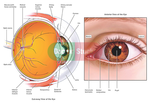 What Is The Ora Serrata together with Special Senses With Figures additionally All About Your Eyes A Closer Look Inside From An Eye Care Doctor In Gaylord Mi Alpine Eye Care likewise Goal Line Technology Seems Legit besides Stock Images Cross Section Illustration Human Eye Image29786784. on eye ball diagram labeled