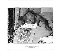 Dublin Zoo - The Baby Orangutan Lily - A Present form an Irish Man in Borneo.07/01/1954