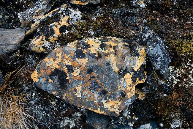 Rock covered in black and Orange lichen, including the vivid elegant Orange. Spitsbergen