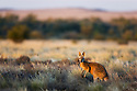 Australia,  NSW, Sturt National Park; red kangaroo male (Macropus rufus) in grassland; the red kangaroo population increased dramatically after the recent rains in the previous 3 years following 8 years of drought