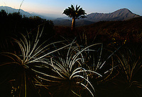 A lone Chilean palm in Oasis de la Campana, an ecological reserve to save the endangered Chilean palm tree. The 1828-meter peak of Cerro La Campana or Bell Mountain is in the background. Threatened from years of being cut, in present day, they are cut for their sugar-sweet sap. Years ago Spaniards cut the .taller trees to run cattle, plant crops on the land and to burn wood for charcoal. The oldest Chilean palm in the reserve is 1,200 years. <br />