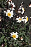 Dahlia 'Keith's Pet' dark-leaved single white flowers (Single)