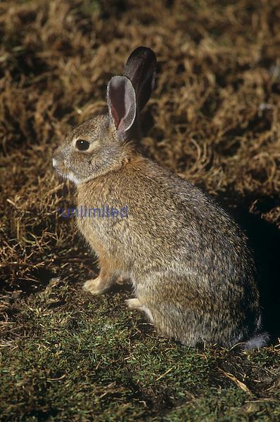 Desert Cottontail Rabbit (Sylvilagus audubonii), Southwestern USA.