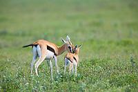 Thompson's Gazelle, Serengeti National Park, Tanzania, East Africa
