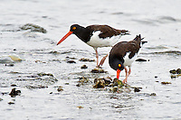 American Oystercatchers on Oyster reef