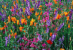 Poppies, lupine and clarkia, Napa Valley, California