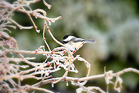 Chickadee on frozen branch,
