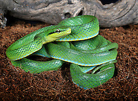 Green Trinket Snake (Elaphe frenata) captive.