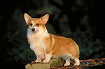 Corgi, pembroke welsh<br /> <br /> <br /> <br /> Shopping cart has 3 Tabs:<br /> <br /> 1) Rights-Managed downloads for Commercial Use<br /> <br /> 2) Print sizes from wallet to 20x30<br /> <br /> 3) Merchandise items like T-shirts and refrigerator magnets
