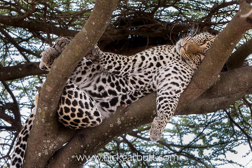Male Leopard (Panthera pardus) sleeping / resting on a tree bough. Long Gully near Ndutu, Ngorongoro Conservation Area, Tanzania. April 2015