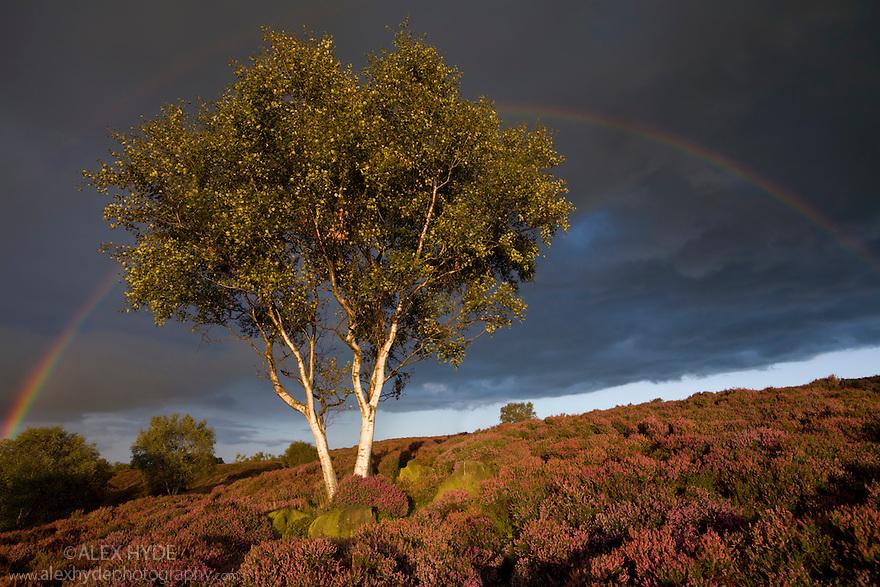 Silver Birch {Betula pendula} growing on heather moorland with stormy sky and rainbow. Stanton Moor, Peak District NP. September 2008.