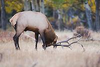 Elk, Wapiti, Cervus elaphus, bull marking his territory with urin, Rocky Mountain National Park, Colorado, USA, September 2006