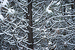 Snow covering the tree branches after a winter snow