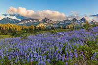 Mount Rainier National Park, WA: Lupine meadow (Lupinus latifolius) with evening clouds over the Tatoosh Range