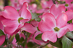 Pink Dogwood trees blooming in Spokane Washington in May.