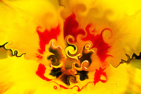 Surreal flower interior. On bright yellow background sharp focus on the middle with spirals in yellow and black colors. Around a crown in red color with many shades, from darker to lighter. Shadows of upper shapes in dark yellow.Colors of the nature.Surrealsim picture, fine art photography, modern art.