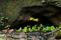 Orange-cheeked Parrots (Pionopsitta barrabandi) taking off in flight froma clay lick in the Amazon