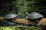 Suwannee River Cooters