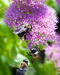 Bumblebees investigate the flowers in the garden outside Hillsborough Vineyards.