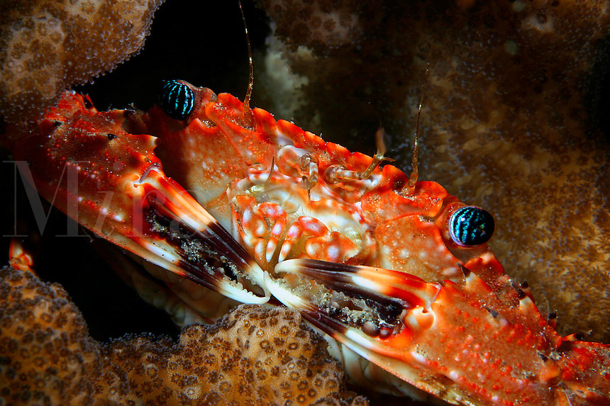 This swimming crab  Charybdis hawaiiensis  reaches three inches across the carapace and is found in the Tuamotus and Society Islands as well as Hawaii. coral crustacean invertebrate clawed claws portunidae underwater marine