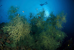 Black coral forest with diver