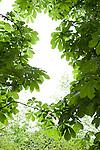 Chestnut trees, Tuileries Gardens (Jardin des Tuileries) in spring, Paris, France, Europe