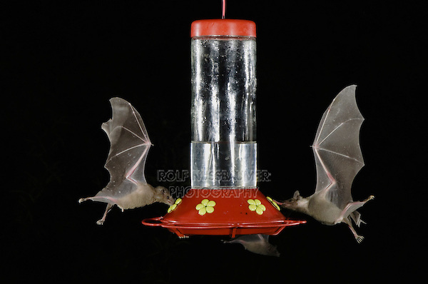 Lesser Long-nosed Bat, Leptonycteris curasoae,two adults in flight at night feeding on Hummingbird feeder,Tucson, Arizona, USA