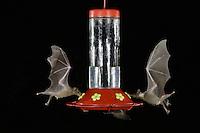Lesser Long-nosed Bat, Leptonycteris curasoae,two adults in flight at night feeding on Hummingbird feeder,Tucson, Arizona, USA