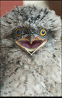 BNPS.co.uk (01202) 558833<br /> Picture: Peter Willows<br /> <br /> Tawny Frogmouth chick Willow<br /> <br /> These old birds are thought to be the oldest parents in the world with their combined ages of a staggering 372 years. The two Tawny Frogmouth birds from Australia have recently hatched their eighth chick despite their impressive ages. Experts believe the oldest of the breed in captivity was 30, which means that the plucky male bird named Gerben has already beaten the previous record with his impressive 33-years, which translates to an incredible 198 in human years. Tawny Frogmouths - Podargus strigoides in Latin - are only expected to live for an average of up to 14 years in the wild. The duo live at Paultons Park near Romsey in Hampshire with their nine-week-old chick Willow, who experts hope will follow in her parents' footsteps.