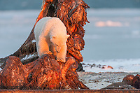 Polar bear cub stands on the bone of a bowhead whale that was harvested by the native community of Kaktovik, Alaska.