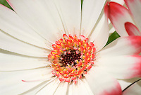 Closeup details of stamens & Pistils of Gerbera Flower in unusually pretty pink and yellow colors on white petals bloom, Revolution Series, botanical closeup macro portrait