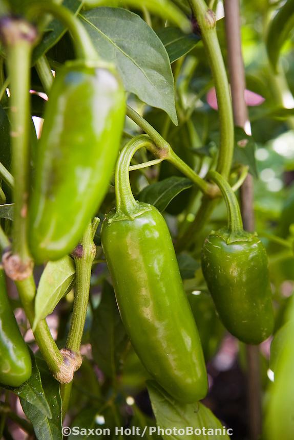 Jalapeno pepper in organic vegetable garden