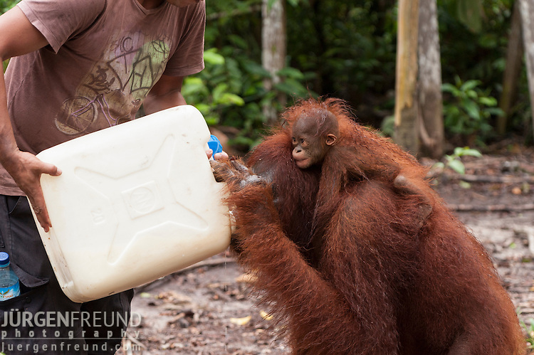 Bornean Orangutan (Pongo pygmaeus wurmbii) - mother and child. Mother drinks milk from the ranger's cannister.