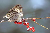 Pine Siskin on Winterberry Branch  #B8