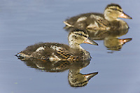Pair of Mallard Ducklings swimming on a lake